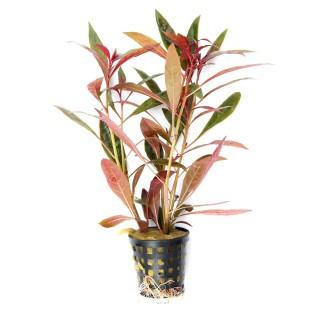 Ludwigia perennis pianta per acquario