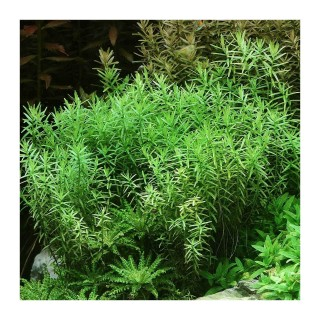 Rotala spec Green pianta per acquario vista
