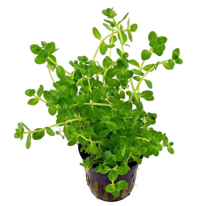 Rotala spec Green pianta per acquario