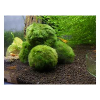Cladophora muschio taglia M in acquario