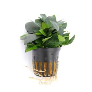 Hygrophila corymbosa Parvifolia Green