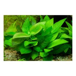 Nomaphila siamensis Parvifolia in acquario