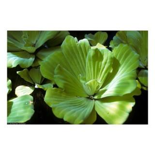 Pistia stratiotes pianta galleggiante antialghe singola