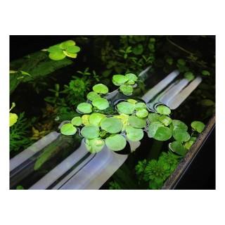Limnobium laevigatum pianta galleggiante antialghe vista acquario