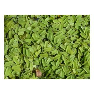 Salvinia natans pianta galleggiante antialghe