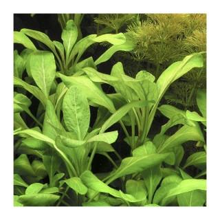 Lobelia cardinalis pianta facile