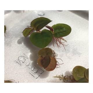 Phyllanthus fluitans pianta galleggiante antialghe dettaglio