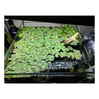 Phyllanthus fluitans pianta antialghe