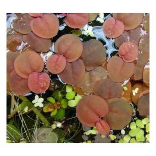 Phyllanthus fluitans pianta galleggiante antialghe