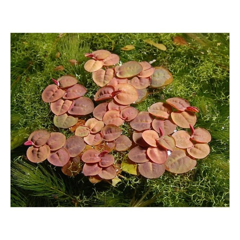 Phyllanthus fluitans pianta galleggiante antialghe con maggiore luce