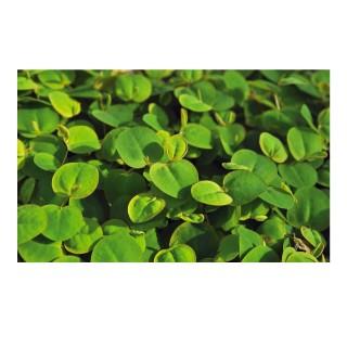Phyllanthus fluitans pianta galleggiante per laghetto