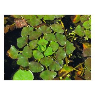 Trapa natans pianta galleggiante Castagna d'acqua