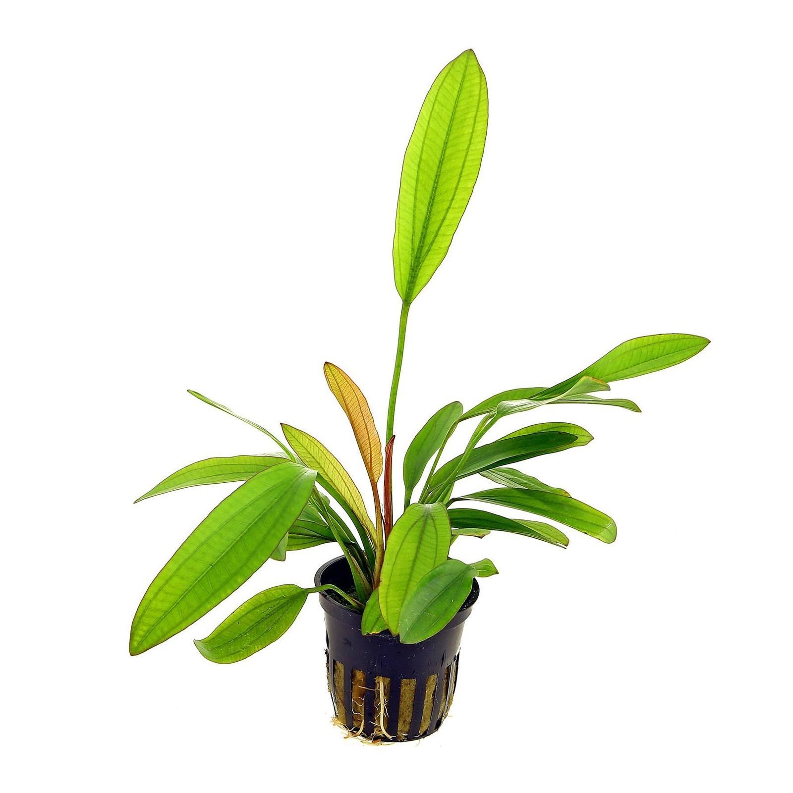 Echinodorus barthii pianta acquario pianta madre