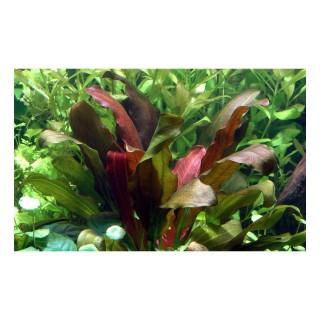 Echinodorus barthii pianta acquario vista vasca