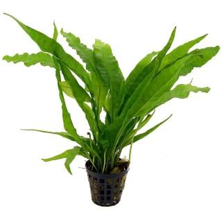 Microsorum Mix Felce pianta madre