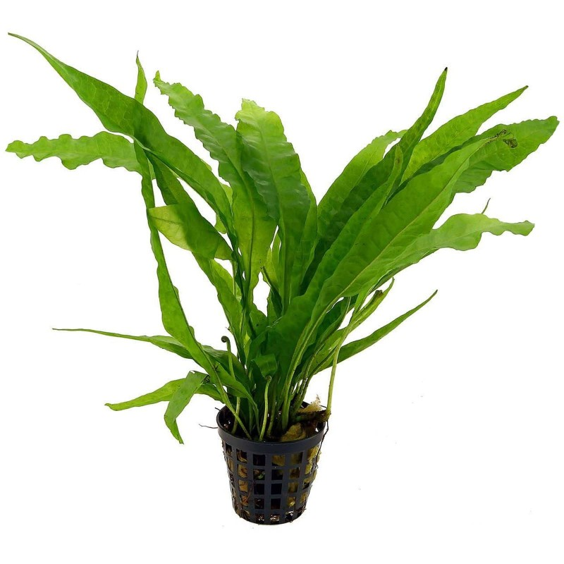 Microsorum pteropus Felce di Giava pianta madre acquario