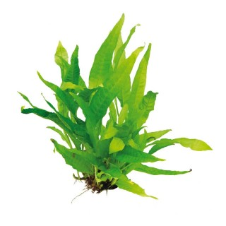Microsorum pteropus Felce di Giava pianta acquario alto