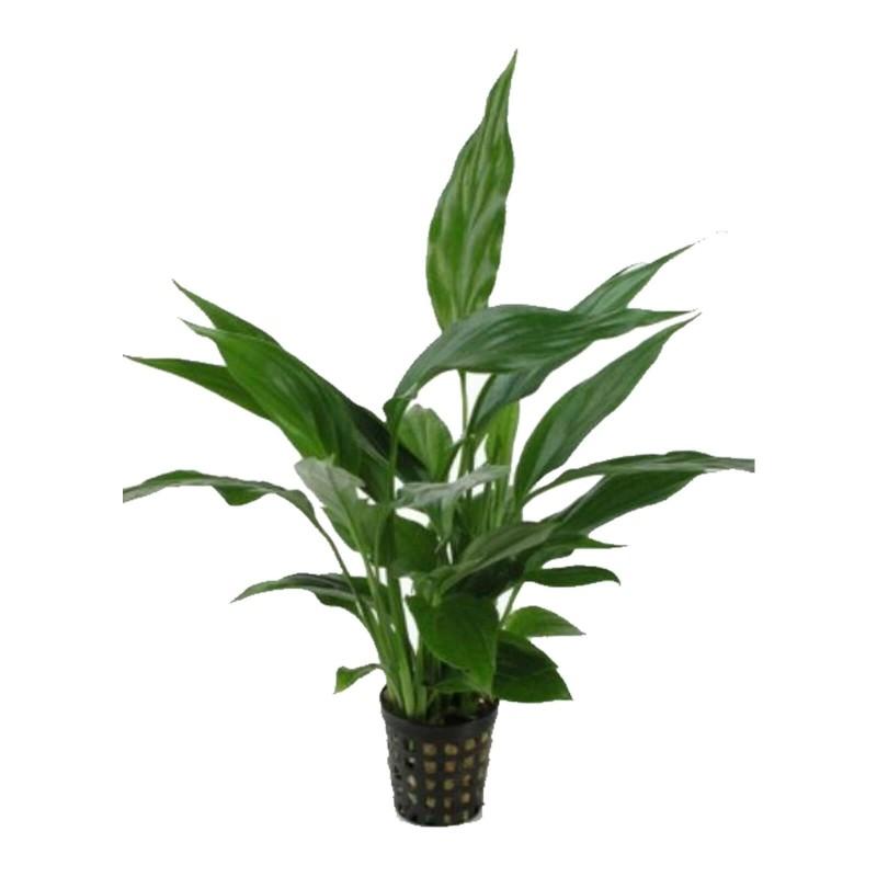 Spathiphyllum wallissii