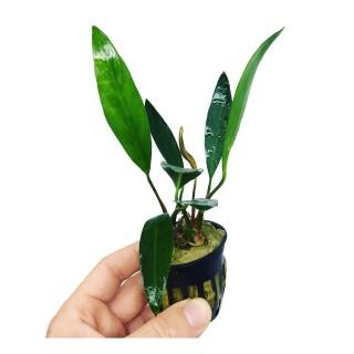 Anubias lanceolata pot