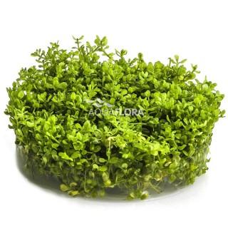 Micranthemum micranthemoides Aquaflora Ecoscape