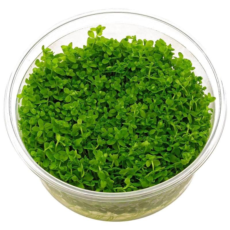 Micranthemum micranthemoides in vitro
