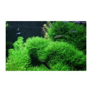 Taxiphyllum alternans Taiwan moss Aquaflora Ecoscape