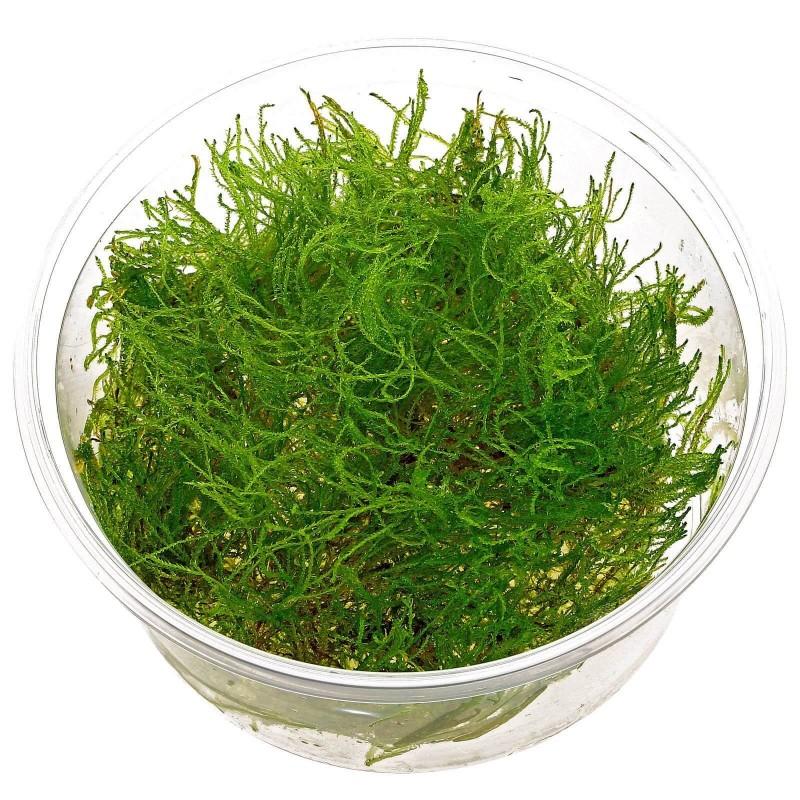 Taxiphyllum alternans Taiwan moss in vitro