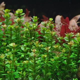 Ammania Bonsai (Rotala indica) in vitro