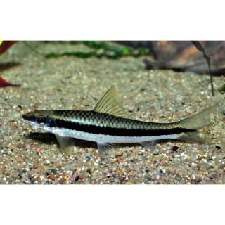 Crossocheilus Siamensis pesce mangia alghe