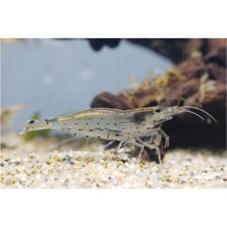Caridina Japonica mangia alghe