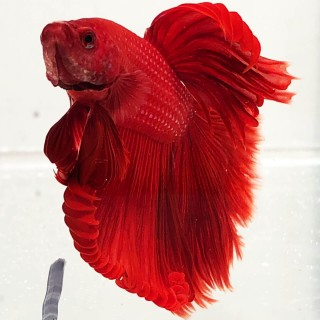 Betta Splendens HalfMoon maschio