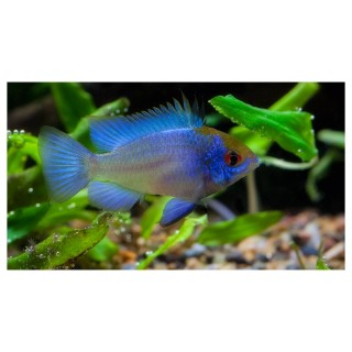 Mikrogeophagus ramirezi - Electric Blue
