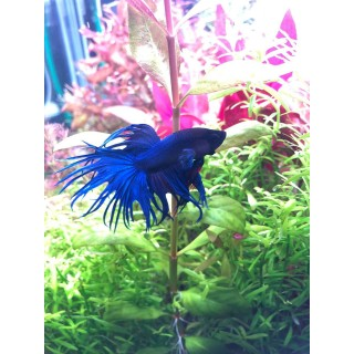 Betta Splendens Crowntail maschio