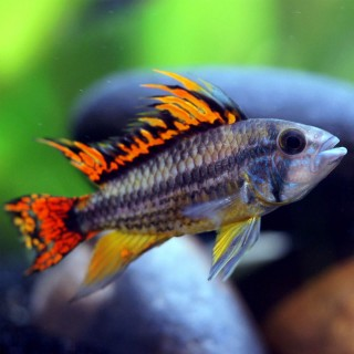Apistogramma cacatuoides red