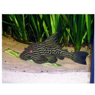 Panaque Nigrolineatus L190 sm 5/7 cm