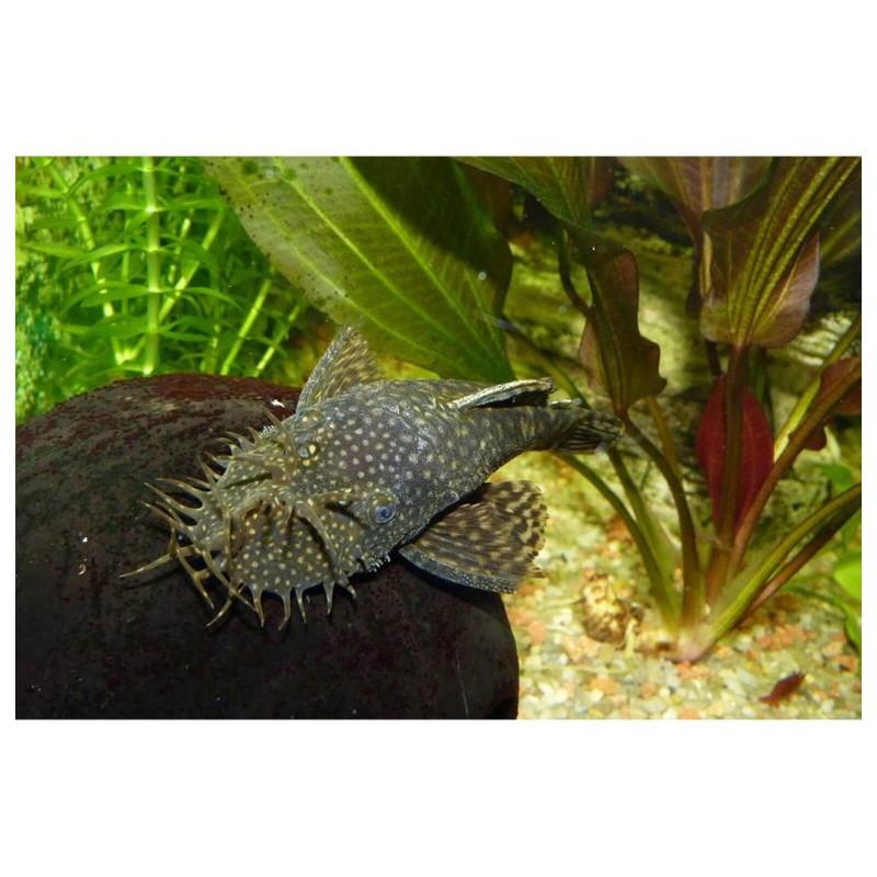 Ancistrus sp pesce pulitore