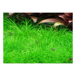 Eleocharis acicularis pianta acquario