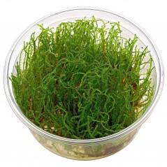 Vesicularia sp Creeping Moss in vitro