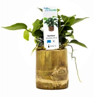 Anubias Mix Bamboo pot S