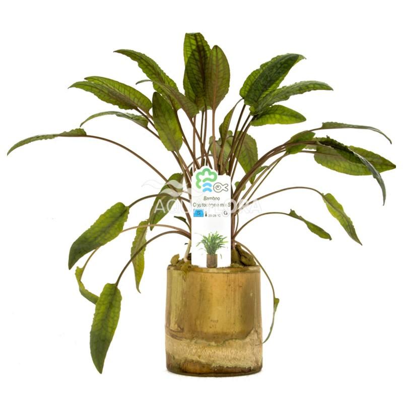 Cryptocoryne Mix Bamboo pot S