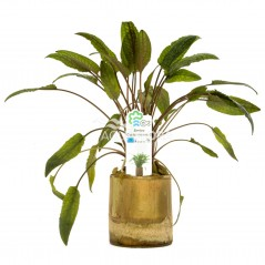 Cryptocoryne Mix Bamboo pot S