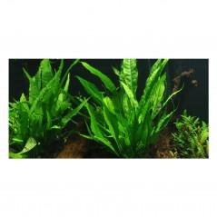Microsorum pteropus Felce di Giava pianta acquario vista