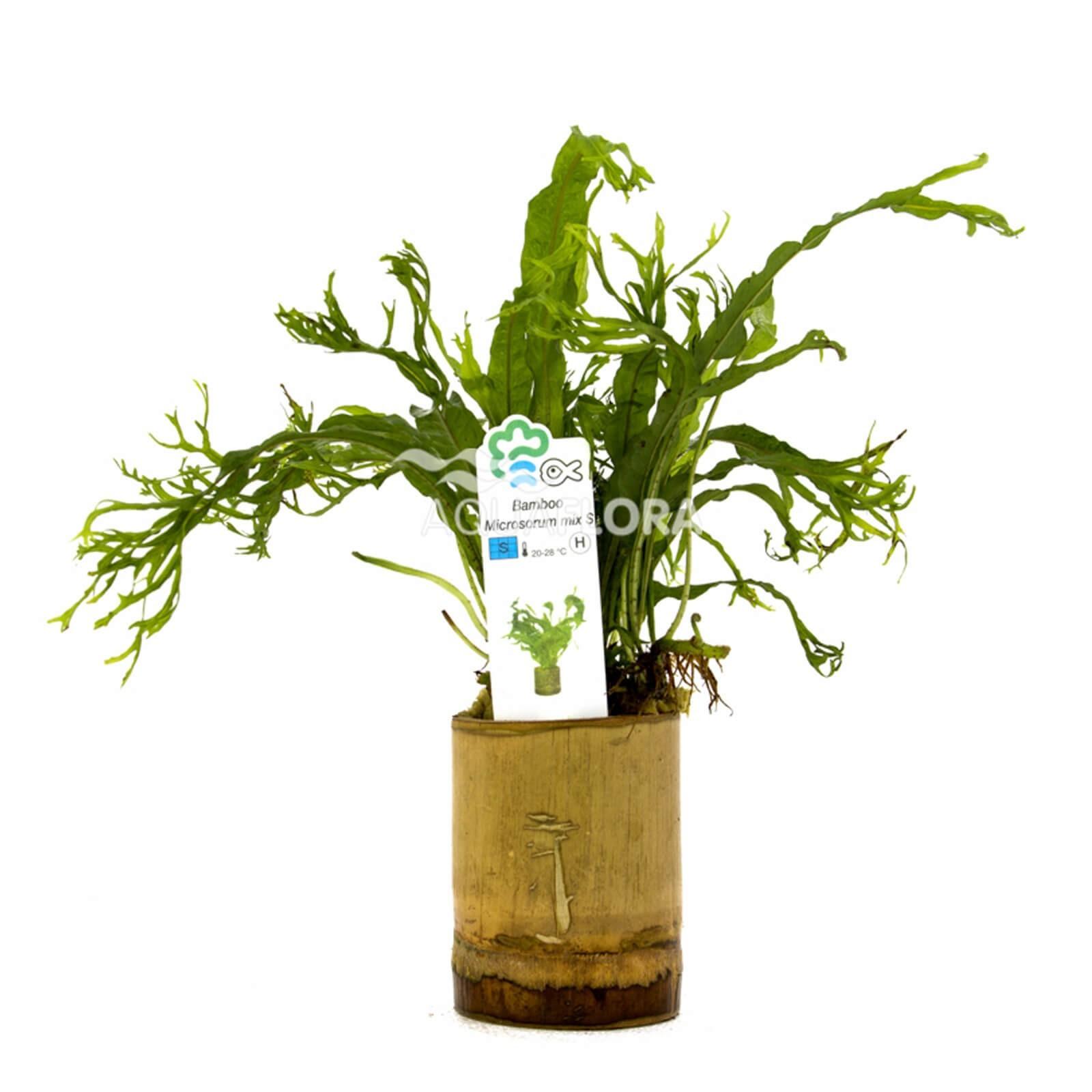 Microsorum Mix Felce Bamboo pot S