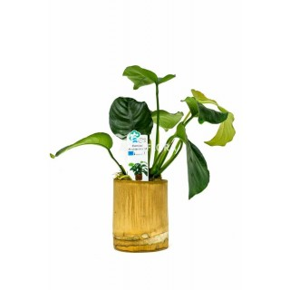 Anubias Mix Bamboo pot M