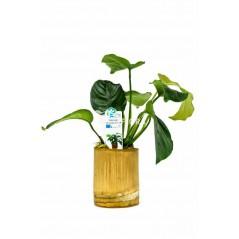 Anubias Mix Bamboo pot M