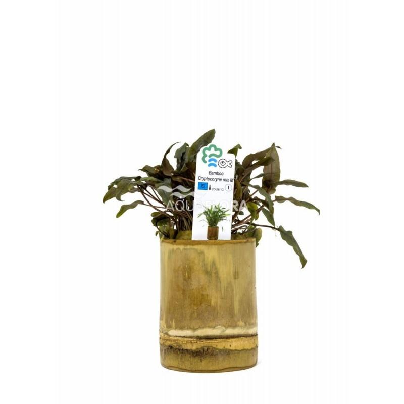 Cryptocoryne Mix Bamboo pot M