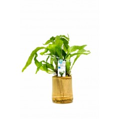 Microsorum Mix Felce Bamboo pot M