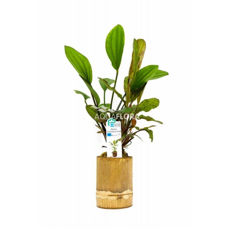Echinodorus Mix Bamboo pot M