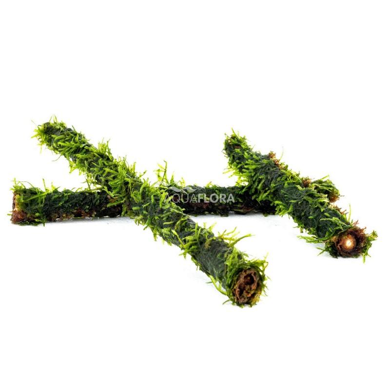 Vesicularia Bamcoo stick L 30 cm
