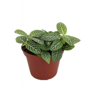 Fittonia 'Mini White'